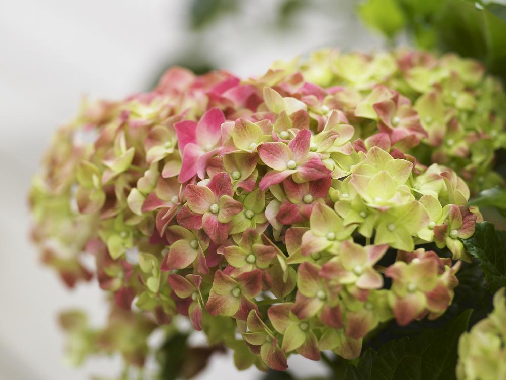 adelaparvu.com sfaturi pentru inflorirea hortensiei Foto Floradania (9)