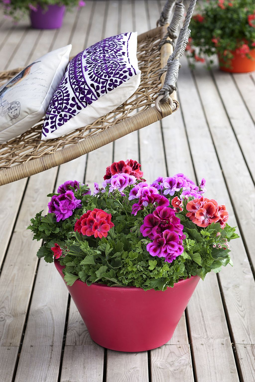 adelaparvu.com despre muscate in sezonul rece Pelargonium  (10)