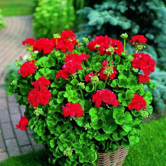 adelaparvu.com despre muscate in sezonul rece Pelargonium  (2)