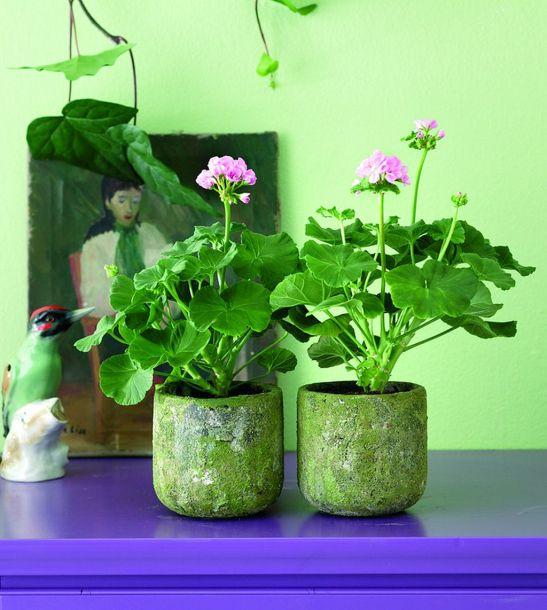 adelaparvu.com despre muscate in sezonul rece Pelargonium  (5)