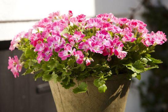 adelaparvu.com despre muscate in sezonul rece Pelargonium  (6)