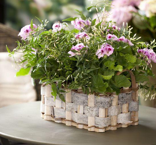 adelaparvu.com despre muscate in sezonul rece Pelargonium  (8)