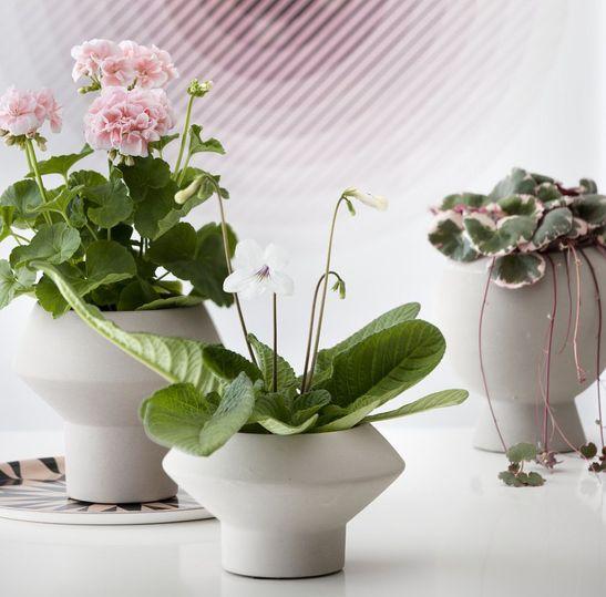 adelaparvu.com despre muscate in sezonul rece Pelargonium  (9)