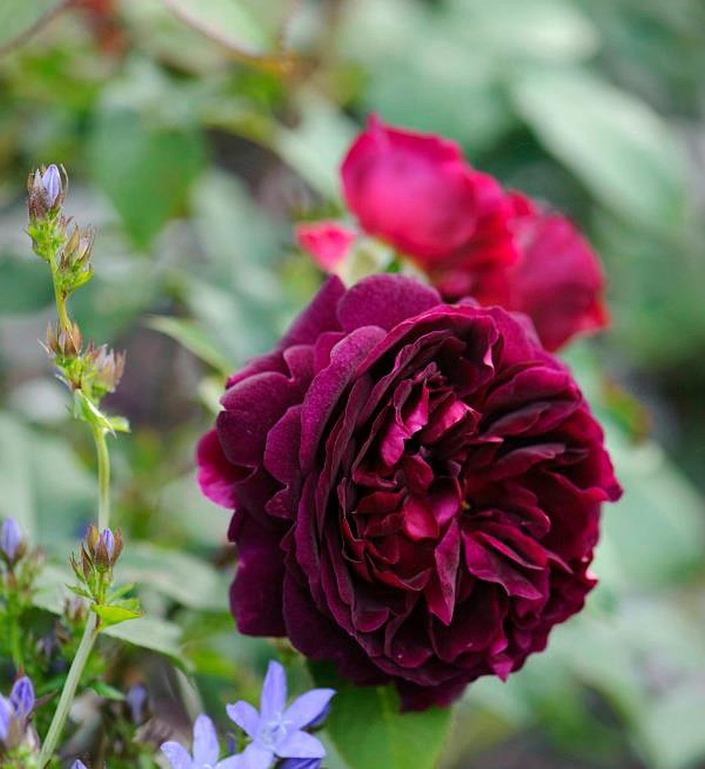 Detaliu cu trandafirul Munstead Wood de la Gradina Bijoux