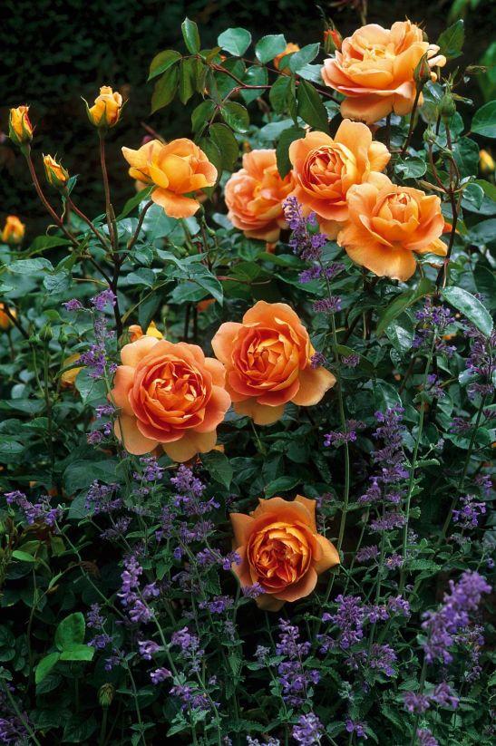 Trandafirii Pat Austin in gradina de la Gradina Bijoux